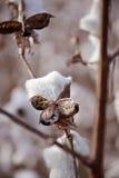 Όμορφο, άσπρο βαμβάκι σε ετοιμότητα θηλυκό Στοκ εικόνες με δικαίωμα ελεύθερης χρήσης