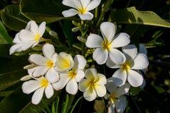 Όμορφο άσπρο κίτρινο λουλούδι Plumeria Στοκ φωτογραφία με δικαίωμα ελεύθερης χρήσης
