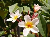 Όμορφο άσπρο, κίτρινο, ρόδινο plumeria σε Maui, Χαβάη Στοκ Εικόνα