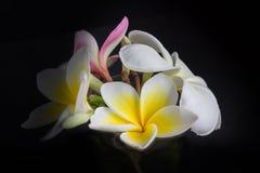 όμορφο άσπρο κίτρινο plumeria ή frangipani λουλουδιών στο Μαύρο Στοκ φωτογραφίες με δικαίωμα ελεύθερης χρήσης