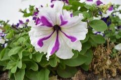 Όμορφο άσπρο και πορφυρό λουλούδι μιγμάτων Στοκ εικόνα με δικαίωμα ελεύθερης χρήσης