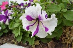 Όμορφο άσπρο και πορφυρό λουλούδι μιγμάτων Στοκ φωτογραφίες με δικαίωμα ελεύθερης χρήσης