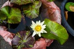 Όμορφο άσπρο κρίνοι ή Nymphaea νερού χρώματος που ανθίζουν μεταξύ των φύλλων στο πλαστικό δοχείο στο τοπικό κατάστημα κηπουρικής Στοκ φωτογραφία με δικαίωμα ελεύθερης χρήσης