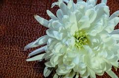 Όμορφο άσπρο λουλούδι στο σκοτεινό υπόβαθρο στοκ εικόνα