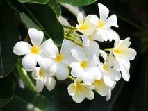 όμορφο άσπρο λουλούδι plumaria στη φύση Στοκ φωτογραφία με δικαίωμα ελεύθερης χρήσης