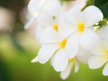 όμορφο άσπρο λουλούδι plumaria στη φύση Στοκ εικόνες με δικαίωμα ελεύθερης χρήσης