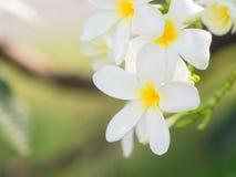 όμορφο άσπρο λουλούδι plumaria στη φύση Στοκ Εικόνες