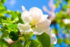 Άνθος της Apple Στοκ Εικόνες