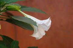 Όμορφο άσπρο λουλούδι στο medina του Μαρακές Στοκ εικόνα με δικαίωμα ελεύθερης χρήσης