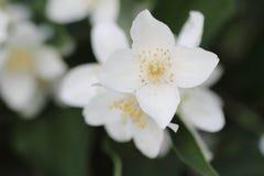 Όμορφο άσπρο λουλούδι της Jasmine στον κήπο Στοκ φωτογραφία με δικαίωμα ελεύθερης χρήσης