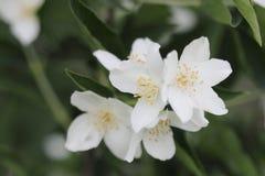 Όμορφο άσπρο λουλούδι της Jasmine στον κήπο Στοκ εικόνα με δικαίωμα ελεύθερης χρήσης