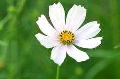 Όμορφο άσπρο λουλούδι στοκ φωτογραφία