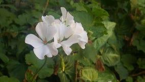 Όμορφο άσπρο λουλούδι Στοκ Εικόνες