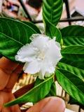 Όμορφο άσπρο λουλούδι Στοκ εικόνες με δικαίωμα ελεύθερης χρήσης
