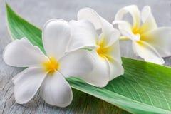Όμορφο άσπρο λουλούδι plumeria Στοκ εικόνες με δικαίωμα ελεύθερης χρήσης