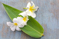 Όμορφο άσπρο λουλούδι plumeria Στοκ φωτογραφία με δικαίωμα ελεύθερης χρήσης