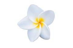 Όμορφο άσπρο λουλούδι rubra plumeria Στοκ Εικόνες