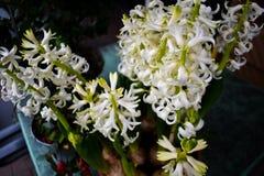 Όμορφο άσπρο πράσινο μικρό θερινό λουλούδι κήπων υάκινθων στοκ φωτογραφίες
