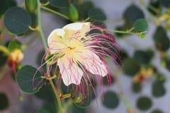 Όμορφο άσπρο ρόδινο υπόβαθρο λουλουδιών capparaceae στοκ εικόνα