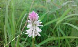 Όμορφο άσπρο ρόδινο λουλούδι χλόης Στοκ εικόνα με δικαίωμα ελεύθερης χρήσης