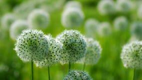 Όμορφο άσπρο Allium κυκλικό διαμορφωμένο σφαίρα χτύπημα λουλουδιών στον αέρα φιλμ μικρού μήκους
