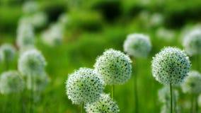 Όμορφο άσπρο Allium κυκλικό διαμορφωμένο σφαίρα χτύπημα λουλουδιών στον αέρα απόθεμα βίντεο