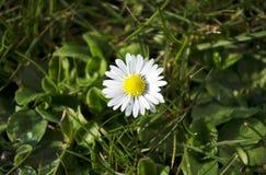 Όμορφο άσπρο chamomile λουλούδι μαργαριτών στην πράσινη χλόη στοκ εικόνα