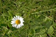 Όμορφο άσπρο chamomile λουλούδι μαργαριτών στην πράσινη χλόη στοκ εικόνες με δικαίωμα ελεύθερης χρήσης