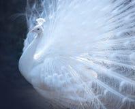 Όμορφο άσπρο peacock με την ουρά Στοκ Φωτογραφίες