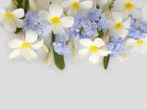 Όμορφο άσπρο plumeria και πορφυρό λουλούδι Στοκ εικόνα με δικαίωμα ελεύθερης χρήσης