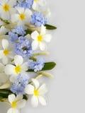Όμορφο άσπρο plumeria και πορφυρό λουλούδι Στοκ Εικόνα