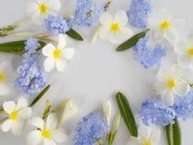 Όμορφο άσπρο plumeria και πορφυρό λουλούδι Στοκ φωτογραφίες με δικαίωμα ελεύθερης χρήσης