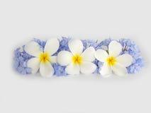 Όμορφο άσπρο plumeria και πορφυρό λουλούδι Στοκ εικόνες με δικαίωμα ελεύθερης χρήσης