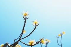 όμορφο άσπρο plumeria στο μπλε ουρανό με τον ήλιο Στοκ Φωτογραφίες