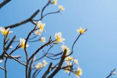 όμορφο άσπρο plumeria στο μπλε ουρανό Στοκ εικόνα με δικαίωμα ελεύθερης χρήσης
