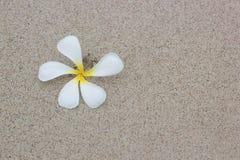 Όμορφο άσπρο Plumeria Στοκ Φωτογραφίες