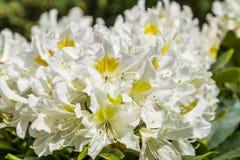 Όμορφο άσπρο rhododendron ανθίζει στη μακρο κινηματογράφηση σε πρώτο πλάνο, δημοφιλές specie εγκαταστάσεων από την Ασία στοκ εικόνες