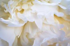 Όμορφο άσπρο texsture peonies σε έναν άσπρο ξύλινο πίνακα στοκ εικόνα με δικαίωμα ελεύθερης χρήσης
