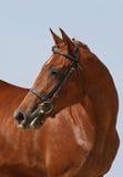 Όμορφο άλογο κάστανων πορτρέτου Στοκ εικόνα με δικαίωμα ελεύθερης χρήσης