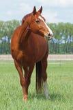 Όμορφο άλογο κάστανων σε ένα λιβάδι Στοκ φωτογραφία με δικαίωμα ελεύθερης χρήσης