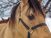 Όμορφο άλογο, κινηματογράφηση σε πρώτο πλάνο του προσώπου Στοκ εικόνα με δικαίωμα ελεύθερης χρήσης