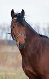 Όμορφο άλογο κόλπων Στοκ Φωτογραφία