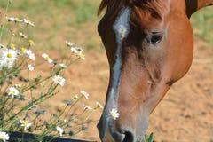 Όμορφο άλογο με τα camomiles Στοκ φωτογραφία με δικαίωμα ελεύθερης χρήσης