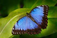Όμορφο έντομο στο βιότοπο φύσης, σκηνή άγριας φύσης Πεταλούδα στο πράσινο δάσος στην Ονδούρα, Κεντρική Αμερική μπλε πεταλούδα Στοκ φωτογραφία με δικαίωμα ελεύθερης χρήσης