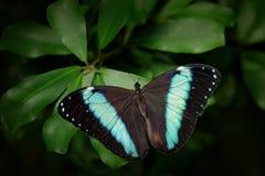 Όμορφο έντομο στο βιότοπο φύσης, σκηνή άγριας φύσης Πεταλούδα στο πράσινο δάσος στην Κολομβία, Κεντρική Αμερική μπλε πεταλούδα Στοκ Εικόνες