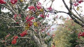 όμορφο δέντρο εποχής σορβιών ανασκόπησης φθινοπώρου Στοκ Εικόνες