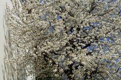 Όμορφο δέντρο με τα άσπρα λουλούδια άνοιξη Στοκ Εικόνα