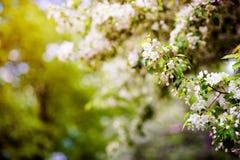 Όμορφο δέντρο της Apple στα λουλούδια με την ηλιοφάνεια Στοκ Φωτογραφίες