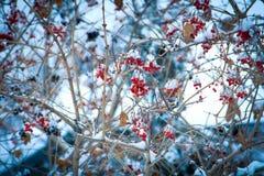 Όμορφο δέντρο του Rowan το χειμώνα Στοκ Φωτογραφίες