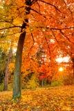 Όμορφο δέντρο φθινοπώρου με τα πεσμένα ξηρά φύλλα Στοκ Εικόνα